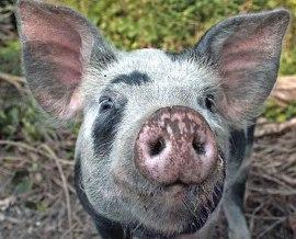 A curious-pig