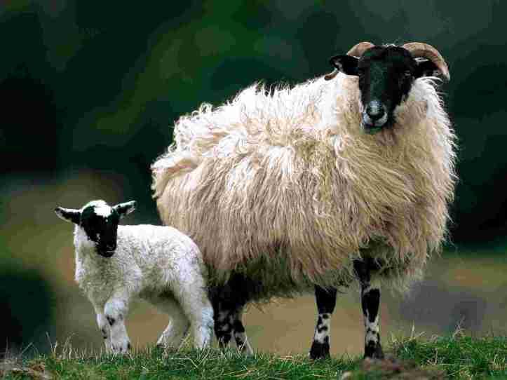 blackface_sheep